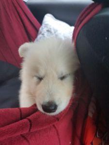 Mały niedźwiedź polarny