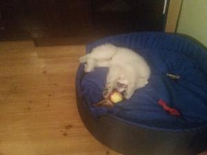 Leżał tak i powarkiwał na jabłko...
