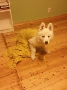 a tutaj Len z kategorii pies-dowcip... zarzucanie na psa sieci z koca zawsze gwarantuje dobrą zabawę :D